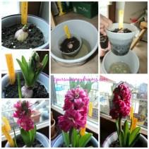 Hyacint hollylock. Senang sekali berhasil sampai hyacinthnya berbunga. yang ini bunganya unik mirip hollylock saat mekar