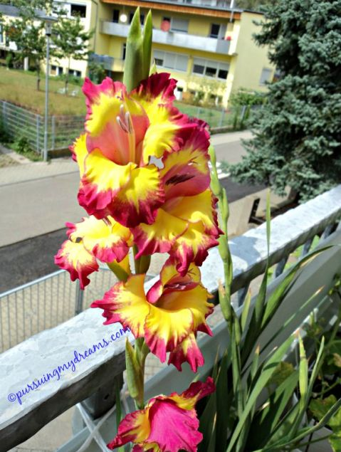 Far west gladiolus