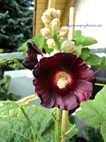 Hollyhocks flower