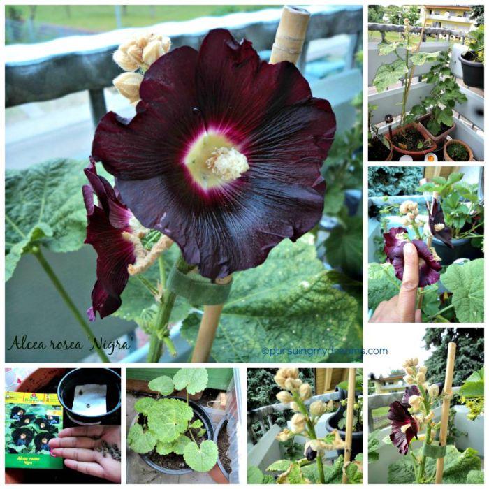 Hollyhocks flower. Alcea rosea Nigra. Stockrosen schwarz