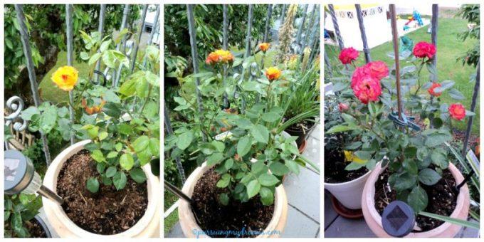 Trosroos Rumba. Bakal bunga pertama disebut ratu bunganya dibuang, nanti muncul lebih banyak bunga muncul. Mawar beli dari Belanda Mei 2015 lalu