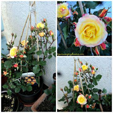 Mawar Bicolor yang namanya Patio Rose merek dari Tantau roses
