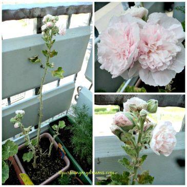 Hollyhocks  pink dalam bahasa Jerman disebut Stokrose