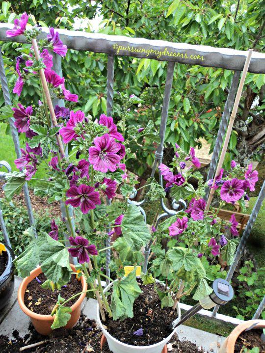 Malva sylvestris, si ungu nan cantik selalu menghiasi kebunku setiap tahun. Kalau bunganya rontok bisa kumpulin benihnya buat tahun depan, atau potong batangnya beberapa cm, akan tumbuh daun baru