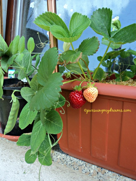 Stroberi sweet mary xxl. Ada kacang kapri numbuh di pot stroberinya