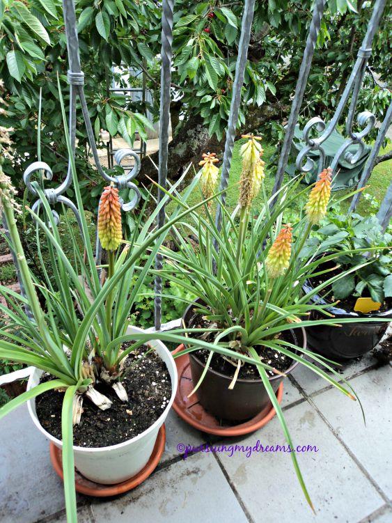 Fackellilie. Kniphofia Tritoma. 2 tahun lalu beli berupa root, tahun lalu 2 bunganya tahun 2015 ini setelah dipisah menjadi 2 pot muncul 6 bunga
