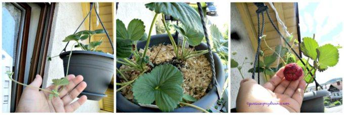 Strawberry gantung Fragaria ×ananassa. Disatu pot ada 2 tanaman