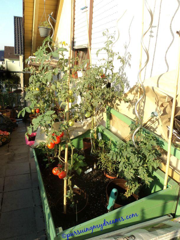 Tomat-tomat sudah mulai merah, beberapa sudah siap dipanen. Foto 07.08.2015. Curhat Berkebun 2015 – Tergila-gila Nanam Sayuran