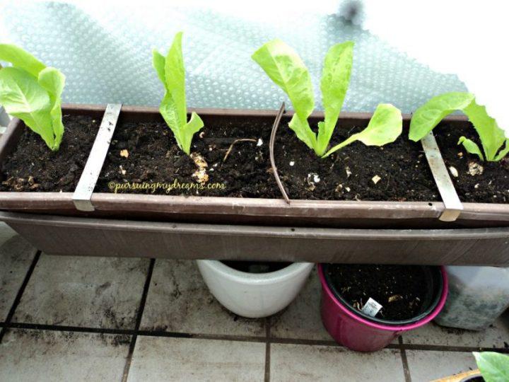 Begini penampakan dalamnya tanaman muda dalam bahasa jerman disebut jungpflanzen. yang saya punya ini salat besar alias kopfsalat (Butterhead)