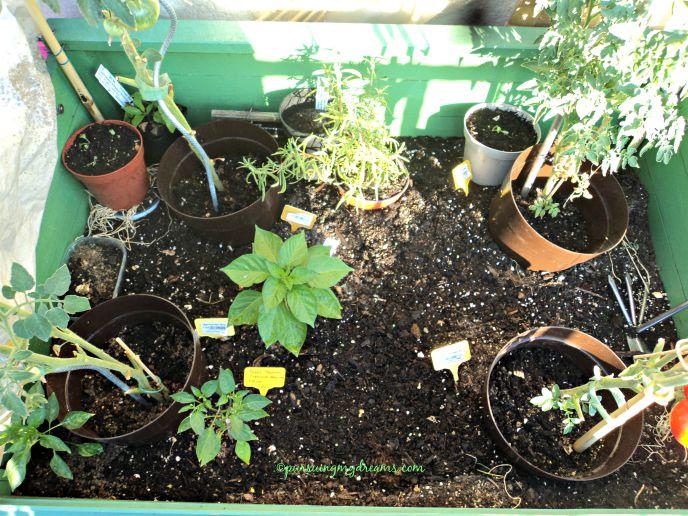 Nanam cabai dan tomat di satu tempat. Yg tengah daunnya lebat adalah habanero. 2 depan chilli cayenne sudah berbunga