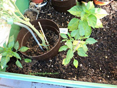 chilli cayenne yang depan 2 tanaman