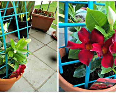 Mandevilla  alias Dipladenia tanaman merambat yang cantik