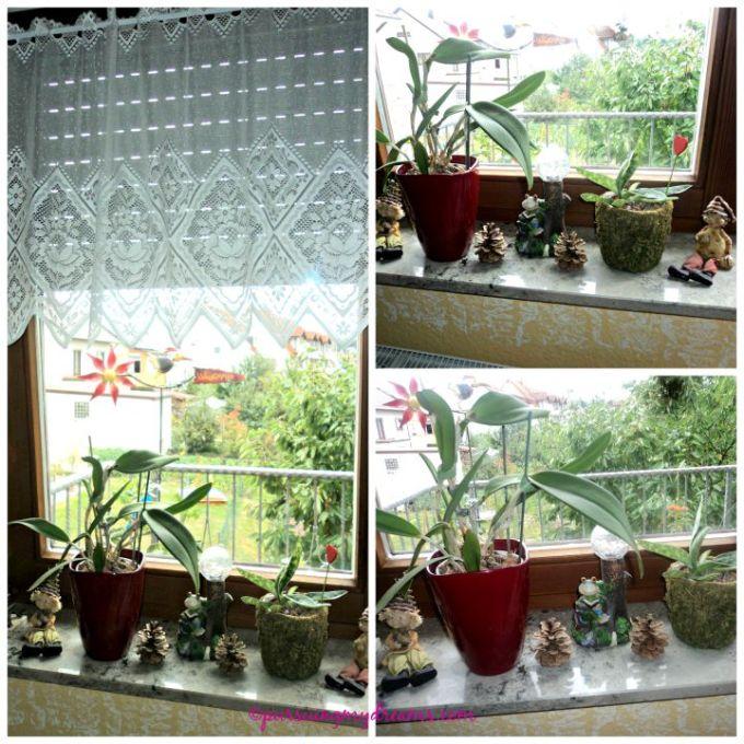 Tanaman penghias jendela. 2 jenis anggrek