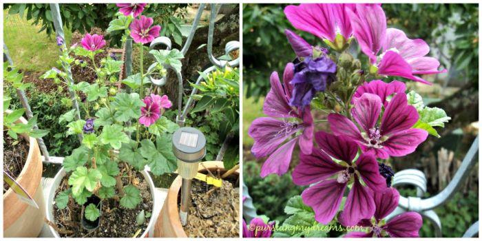 Bunga Malva sylvestris