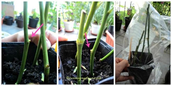 Belajar Stek bunga mawar, sejauh ini berhasil mata tunas makin gemuk, batang tetap hijau