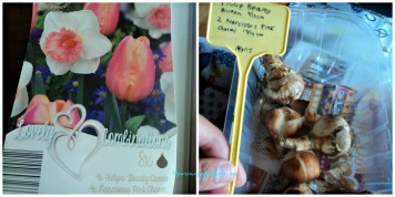 Bibit Tulip Pink Beauty Queen dan Narcissus Pink Charm