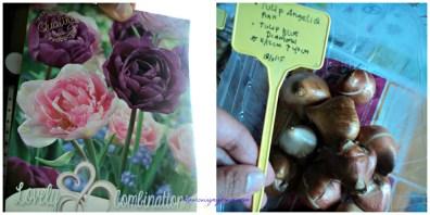 Bibit Tulip Angelique dan Tulip Blue Diamond. Bakalan kombinasi yang cantik nih bunganya dobel flower