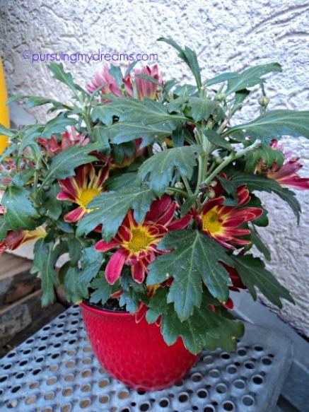 Chrysanthemum Indicum Hybride. Bunga krisan pertama yang saya miliki ini pemberian ibu mertua