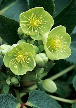 Beautiful Helleborus.Winter Rose. Photo source https://de.pinterest.com/pin/313070611573722962/