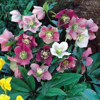 Helleborus Orientalis Mixed (Lenten Rose). Photo source https://de.pinterest.com/pin/289356344785215357/