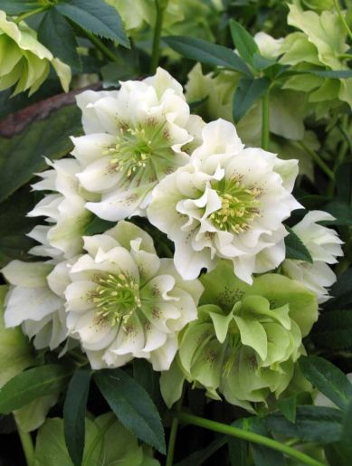 Double Helleborus. Christmas rose. Photo source https://de.pinterest.com/pin/456482112207045609/