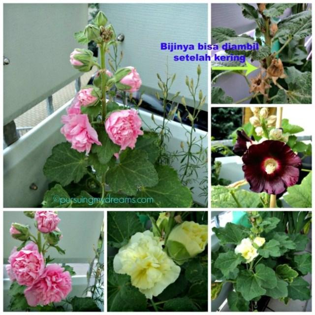 Bunga Hollyhocks di Jerman disebut Stockrose. Bunga yang warna hitam hanya satu lapis, saya nanam dari bijinya