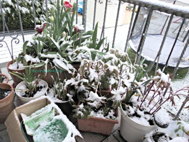 Salju di musim semi. Semoga peoni-peoniku ynag baru numbuh bertahan daunnya