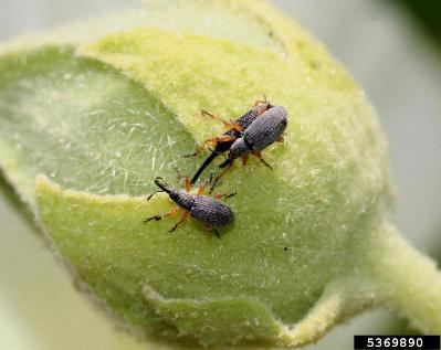 Hama Hollyhock Weevils (Apion longirostre pada bunga Hollyhock. Photo oregonstate.edu
