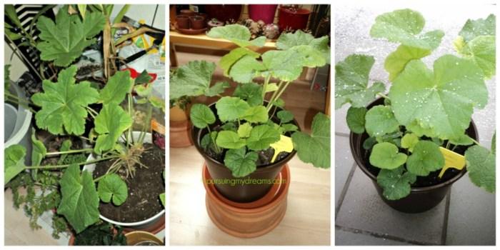 Tanaman Bunga Hollyhock kalau sudah umur 3 bulan baru bisa taruh pot besar