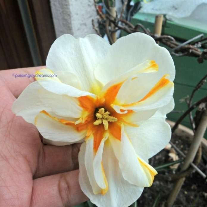 Narcissus trepolo. Bagus ya warna dafodilnya