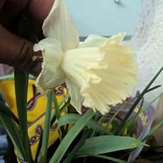 Narcissus umbi tahun sebelumnya, nanam sembarang numbuh juga