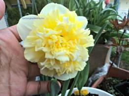 Narcissus Ice King. Dafodil kribo haha