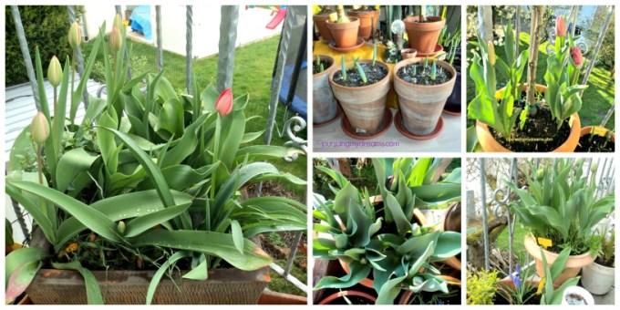 Bunga-bunga tulip saat terlihat bakal bunganya saja sudah bahagia luar biasa