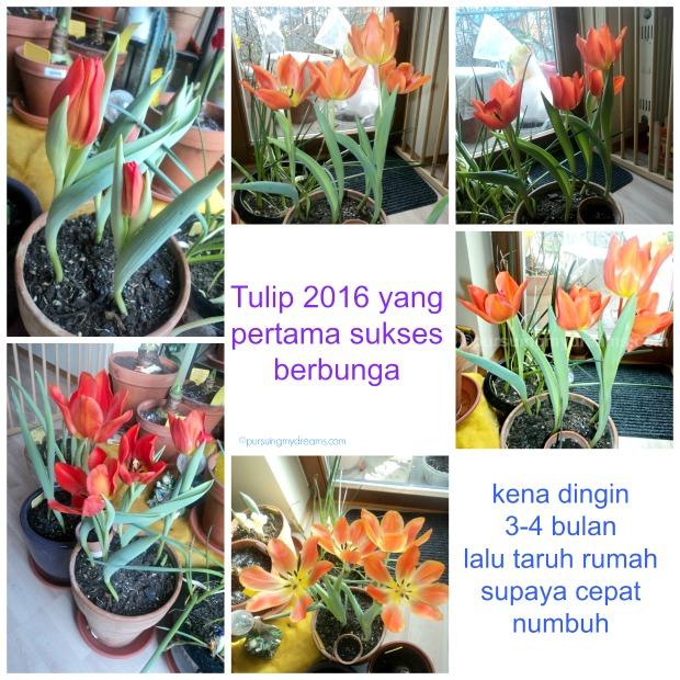 Tulip fosteriana orange emperor. Tulip pertamaku yang sukses berbunga cantik tahun ini. Tahun lalu yg orange begini gagal mekar. Foto 4 Feb 2016