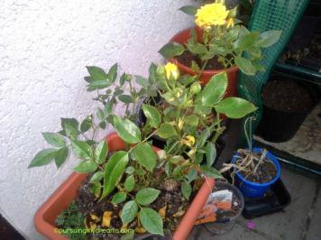 Mawar yang bunganya kecil namun banyak sekali kuntumnya. Saya lagi treatment dengan air asam karena kena penyakit black spot