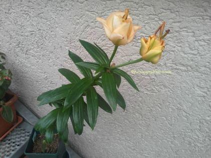 Lilie Apricot Fudge umbinya kecil imut-imut ternyata bunganya bagus berlapis seperti gambar katalognya