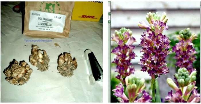 Sedap malam ungu. Tuberose Cinderella bunganya warna ungu / warna lavendel