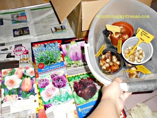 Aneka bibit bunga musim semi. Ada tulip, dafodil dan muscari. Semua umbi direndam air 24 jam baru ditanam, klo nanam di pot sukses numbuh dan berbunga dengan cara ini, akar bibitnya jadi cepat numbuh kalau direndam dulu sebelum ditanam