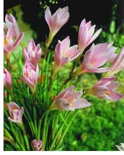 Zephyranthes pink - Zephirblume. Sudah lama dengar namanya, saya baru mau coba nanam tahun ini semoga sukses berbunga