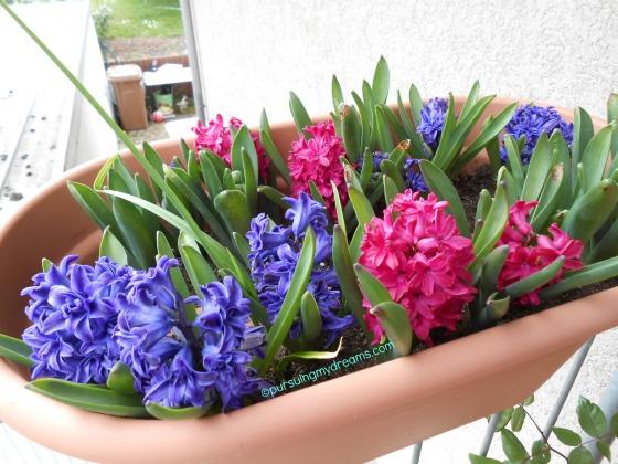Hyazinthen Biru Crystal Palace dobel flower