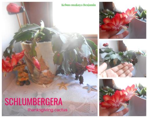 christmas cactus, wijaya kusuma kepiting schlumbergera, bunga schlumbergera