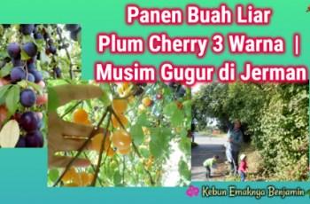 Panen Buah Liar Plum Cherry 3 Warna | Musim Gugur di Jerman