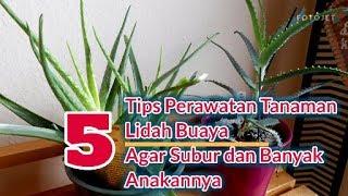 5 Tips Merawat Lidah Buaya Tanaman Hias Agar Subur