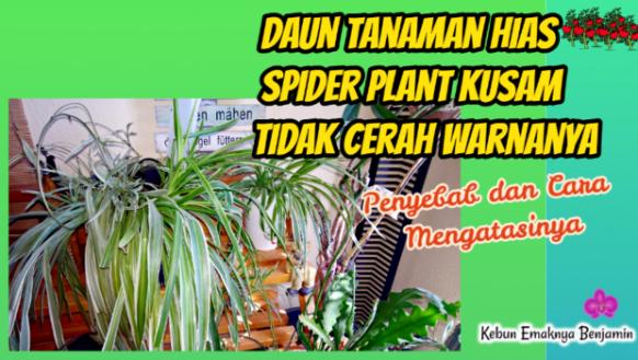 Cara Mengatasi Daun Tanaman Hias Spider Plant Pucat Memutih