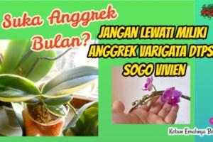 Uniknya Anggrek Variegata Doritaenopsis Sogo Vivien