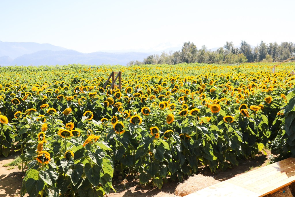 Maan Farms - Sunflower Trail