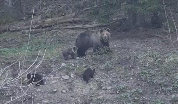 Na Risnjaku snimljena medvjedica s troje preslatkih mladunaca