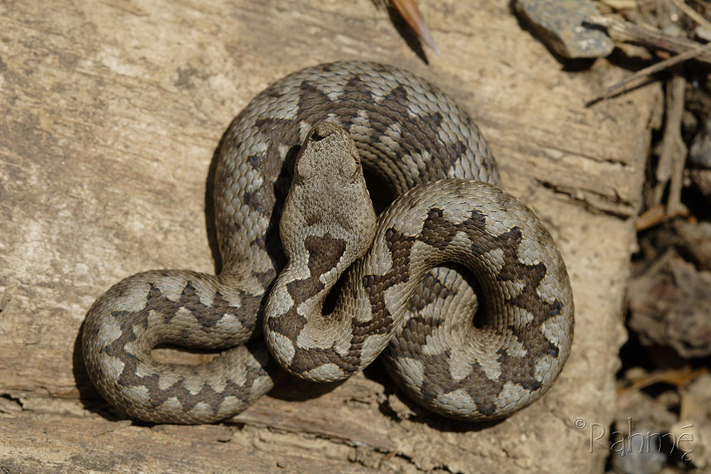 Резултат слика за слика змије поскока