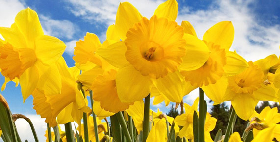 Daffodil Parade in Puyallup