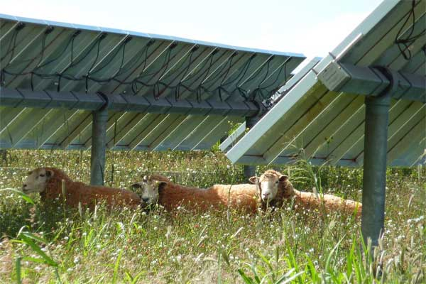 Sheep-that-live-on-solar-farms